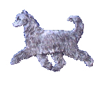 Chinese Crested powderpuff
